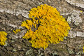 Yellow lichen Stock Images