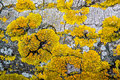 Yellow lichen on bark