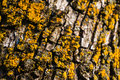 Yellow lichen closeup of tree Royalty Free Stock Image