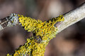 Yellow lichen growing on a tree branch Royalty Free Stock Photo