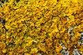 Yellow lichen macro Royalty Free Stock Photo