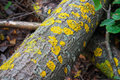 Yellow lichens Royalty Free Stock Image