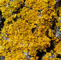 Yellow Lichens Stock Photo