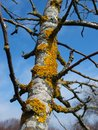 Yellow lichens growing on apple tree trunk Stock Photos