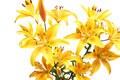 Yellow lilies Royalty Free Stock Photos