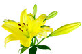 Yellow Lilies Stock Photos
