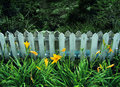 Yellow lilies by old wooden fence Royalty Free Stock Photo