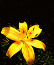 Yellow lily on black background bright Royalty Free Stock Images