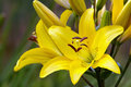 Yellow lily bush Royalty Free Stock Image