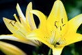 Yellow lily close up of flowers in bloom Stock Photography