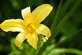 Yellow lily flower Royalty Free Stock Images