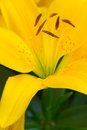 Yellow Lily flower Stock Photography