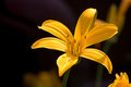 Yellow lily flower closeup of bright on dark outdoor background Royalty Free Stock Images