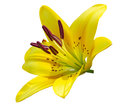 Yellow lily flower isoalted on white background Royalty Free Stock Photos