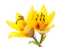Yellow lily flower Royalty Free Stock Photo