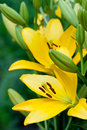 Yellow lily flowers Stock Photography