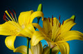 Yellow lily flowers background with buds over dark blue Stock Image