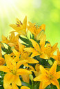 Yellow lily on green background Royalty Free Stock Photography