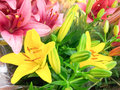 Yellow lily lilies in a bouquet with pink lilies and green buds Stock Photo