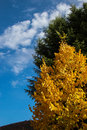 Yellow Lime Tree And Blue Sky