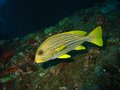 Yellow lined sweetlips wide angle portrait Stock Images