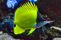 Yellow longnose butterfly fish full body a swims into view giving lovely detail of its distinct shape and color Stock Photos