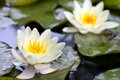 Yellow lotus blossom or water lily flower Royalty Free Stock Photo