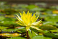 Yellow lotus flower close up of in the pond Stock Image