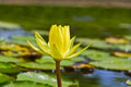Yellow lotus flower close up of in the pond Royalty Free Stock Photos