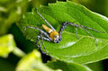 Yellow lynx spider oxyopes quadrifasciatus body and black legs ambush small insects as food on the leaf Royalty Free Stock Photos