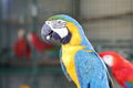 Yellow macaw with blue wing and green head Royalty Free Stock Photo