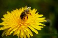 Yellow macro flower with bee green background Stock Photos