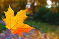Yellow maple leaf on background of public park Royalty Free Stock Photos