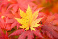 Yellow maple leaf beautiful color in liaoning china Royalty Free Stock Image