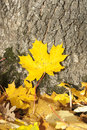 Yellow maple leaf closeup of bright in front of tree stem in autumn Royalty Free Stock Images