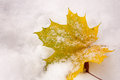 Yellow Maple Leaf in snow Royalty Free Stock Image