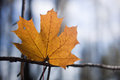 Yellow maple leaf on the tree single a in autumn Stock Image