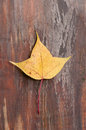 The yellow maple leaf on the wood Stock Photos
