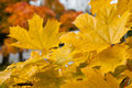 Yellow maple leafs garden Royalty Free Stock Images