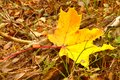 Yellow maple leave Royalty Free Stock Photo