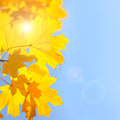 Yellow Maple Leaves against Blue Sky background with Sun - Autumn Royalty Free Stock Photo