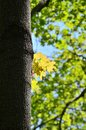 Yellow maple leaves found in spring forest Royalty Free Stock Photo