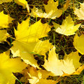 Yellow maple leaves on green grass in autumn Stock Photo