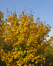 Yellow maple tree on blue sky Royalty Free Stock Image