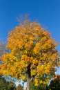 Yellow Maple Tree Royalty Free Stock Photo