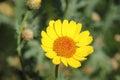 Yellow Marguerite Daisy Flower