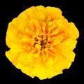 Yellow Marigold Flower Isolated on Black Background Royalty Free Stock Image