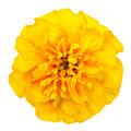 Yellow marigold flower isolated on white background petals at the base of dark at the edges light Royalty Free Stock Photography