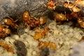 Yellow meadow ants (Lasius flavus) tending larvae Royalty Free Stock Photo