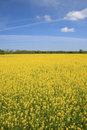 Yellow Meadow of Flowers Royalty Free Stock Images
